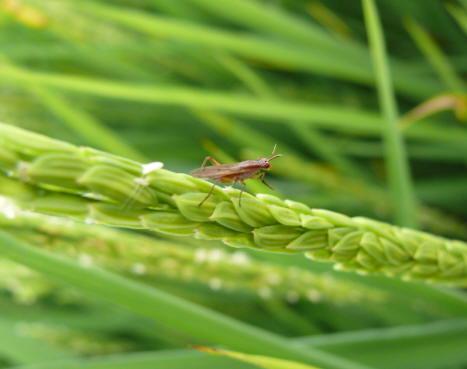 insetto-pannocchia-gladio-13ago08_2.JPG