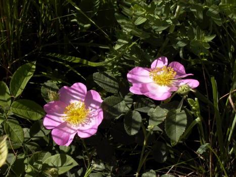 rose-selvatiche_mag08.JPG
