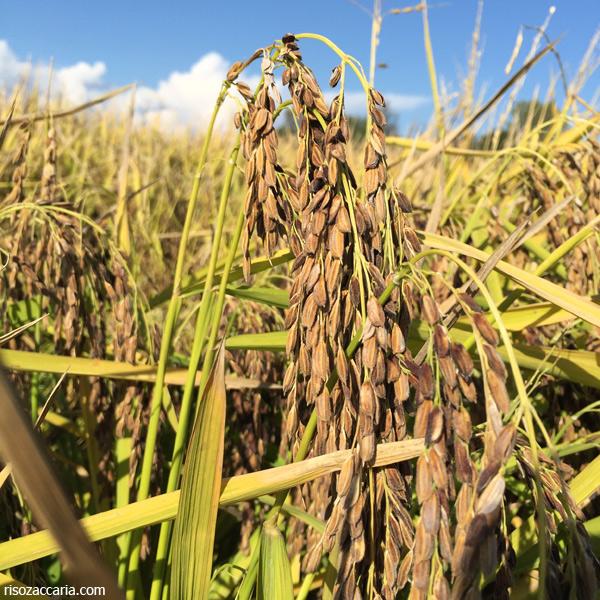 Pannocchie di riso Nero Zaccaria